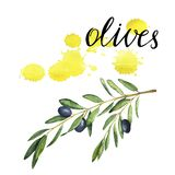 Olive tree branch with yellow backdrops. Hand drawn watercolor illustration. Dark olive tree branch and yelow backdrops isolated on white background. Hand drawn royalty free illustration