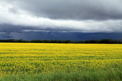 Dark, Ominous clouds over Field of Manitoba Canola in blossom Stock Image