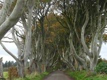 Dark omringt - Weg van beukbomen op de manier aan de Reuzenverhoogde weg in het noorden van Ierland, Europa Stock Fotografie