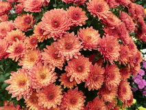 Dark orange blooms. Masses of flowers to brighten up the garden Stock Images