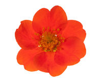 Dark orange flower isolated on white Royalty Free Stock Images
