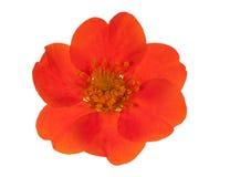Dark orange flower isolated on white. Bright orange flower isolated on white background Royalty Free Stock Images