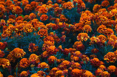 Dark orange and red marigold flowers (Tagetes patula). In a flowerbed stock photos
