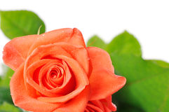 Dark orange rose with dew drops close-up stock photography