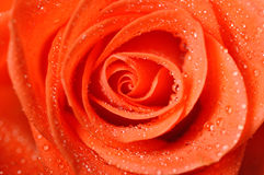 Dark orange rose with dew drops very close-up royalty free stock image