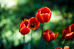 Dark Orange tulips world favorite. Darwin Hybrid Tulips Stock Image