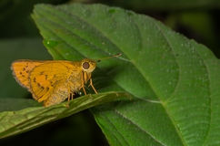 Dark Palm Dart Butterfly Stock Images
