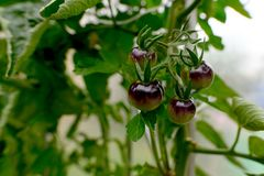 Dark panicles of tomatoes in a small greenhouse stock photo