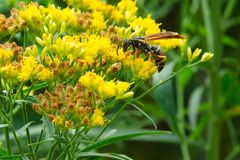 Dark Paper Wasp - Polistes fuscatus. Dark Paper Wasp collecting nectar from a yellow Goldenrod flower. Alson known as a Golden or Northern Paper wasp. Todmorden stock photo
