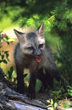 Dark Phase Red Fox Pup. A cute dark phase red fox standing in a small forest opening Royalty Free Stock Photos