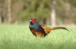 Dark pheasant Royalty Free Stock Photography