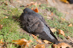 Dark pigeon on the grass Royalty Free Stock Photography
