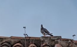 Dark pigeon on a roof royalty free stock photography