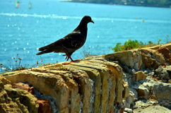 Dark pigeon on a wall at azure blue sea Stock Photos