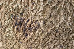 Dark Pill Bugs Woodlouse on Grey Tree Bark with Green Moss stock photo