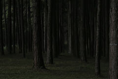 Dark pine forest in Chiang mai thailand.  Stock Photos