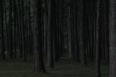 Dark pine forest in Chiang mai thailand Stock Image