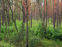 Dark, pine forest stock photo