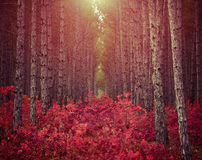 Dark pine forest with red bushes and morning sun used as backgro Royalty Free Stock Photography