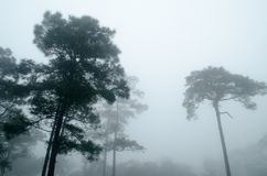 The Dark Pine Tree Forest. Black Tree with fog in the dark pine tree forest stock photography