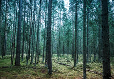 Dark pine tree forest landscape, Karelia, Russia Royalty Free Stock Images