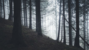 Dark pine tree forest with mysterious fog Stock Photography