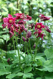 Dark pink aquilegia. Stock Photo