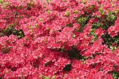 Dark Pink Azaleas Royalty Free Stock Photography