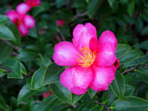 Dark Pink Camellia Royalty Free Stock Photography