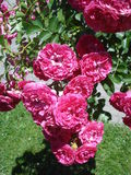 Dark pink cascading roses. In park Stock Photo