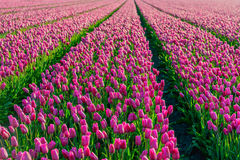 Dark pink colored tulips in long converging tulip beds Stock Photo