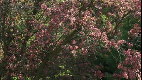 Dark pink crabapple treetop in spring breeze. stock video footage