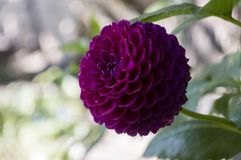 Dark pink dahlia flower is growing on the autumn flower-bed.  Royalty Free Stock Photos