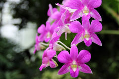 Dark Pink Dendrobium phalaenopsis hybrid orchid Royalty Free Stock Images