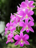 Dark Pink Dendrobium phalaenopsis hybrid orchid. A cluster of pink orchid with green background under the natural environment Royalty Free Stock Photo