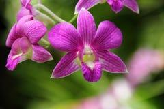 Dark Pink Dendrobium phalaenopsis hybrid orchid Stock Photo