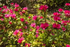 Dark pink flower and green leaves royalty free stock image