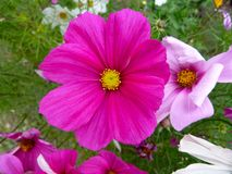 Dark pink flower. Vivid flowers in the garden at rushcliffe country park Stock Image