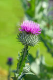 Dark pink flowering Cotton thistle from close Royalty Free Stock Photos