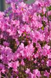 Dark Pink Flowering Tree Stock Photo