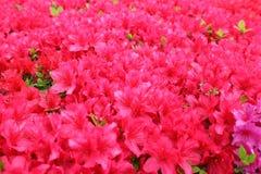 Dark pink flowers plenty blooming stock image