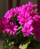 Dark pink flowers Royalty Free Stock Photo