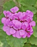 Dark pink geranium bunch closeup stock photos