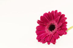 Dark pink Gerbera flower on white surface. Series Stock Image