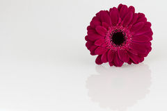 Dark pink Gerbera flower on white surface Royalty Free Stock Photography
