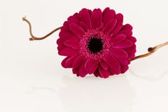 Dark pink Gerbera flower on white surface Royalty Free Stock Images