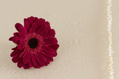 Dark pink gerbera with  waterdrops and pearls. Series Stock Images