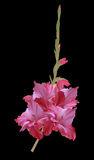 Dark pink gladiolus flower isolated on black Royalty Free Stock Photography