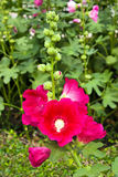 Dark pink Hollyhocks flower in the garden Royalty Free Stock Images
