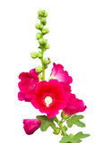 Dark pink Hollyhocks flower isolated Stock Photo